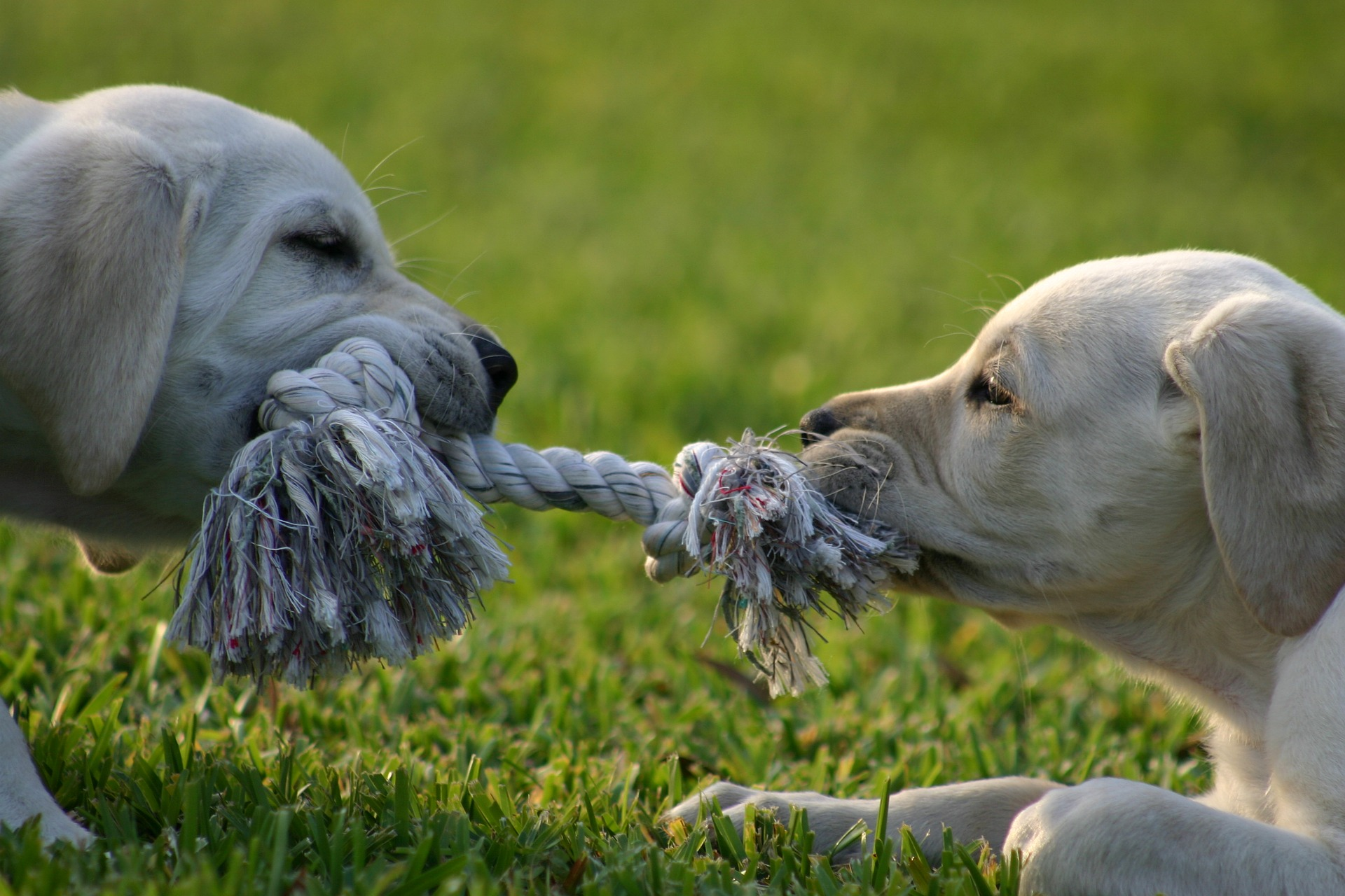 two dogs tugging on a rope